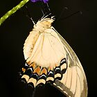 Giant Swallowtail  by ruth  jolly
