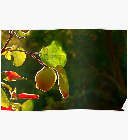 Quince Fruit On Tree Poster