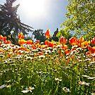 A Field Of Tulips In A Garden by Kuzeytac
