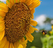 Bee & Sunflower by Denise Worden