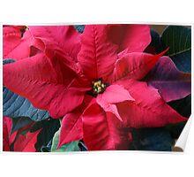 Euphorbia Pulcherrima Poster