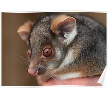 Look What the Cat Brought in .Ringtail Possum. Poster