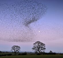 Murmuration of Gretna Starlings by Joan Thirlaway