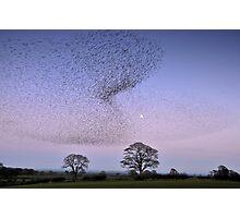 Murmuration of Gretna Starlings Photographic Print