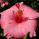 Big Pink Hibiscus by gregAllore