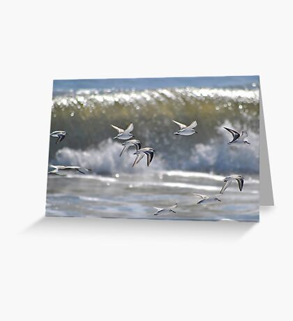 Piping Plovers in Flight Greeting Card