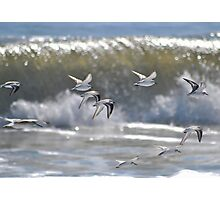 Piping Plovers in Flight Photographic Print