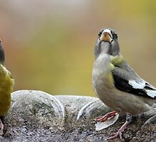 Drink Up Drink Up / Evening Grosbeaks by Gary Fairhead