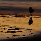 Piping Plover at Dawn by Robin Black