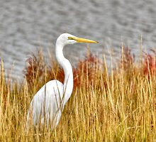 Great Egret by Monte Morton