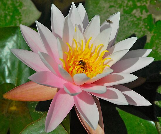 Pink Water Lily by Penny Smith