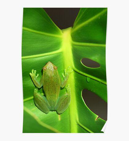 Greater Hatchet Faced Treefrog (Sphaenorhynchus lacteus)  Poster