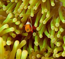 Juvenile False Clown Anemonefish - Amphiprion ocellaris by Andrew Trevor-Jones
