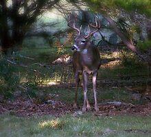 South Texas Buck by Penny Odom