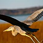 Great Blue Heron in Flight by FedericoArts