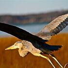 Great Blue Heron in Flight by FedericoArts