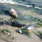 Seals, a cub and lots of seaweed by ColourfulSocks