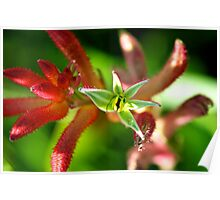 Incredible Kangaroo Paw Poster