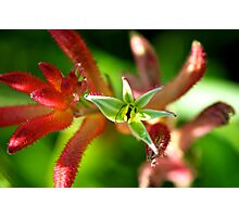 Incredible Kangaroo Paw Photographic Print