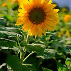 Sunflowers in Germany by TLCPhotography