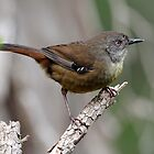 Tasmanian Scrubwren taken at Narawntapu NP by Alwyn Simple