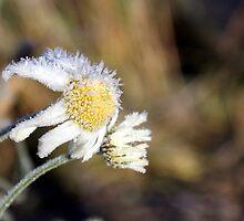 Frosty daisy in sunlight by Susanna Hietanen