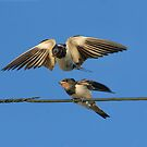 Swallow feeding young by Anthony Thomas