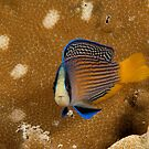Splendid Dottyback, Wakatobi National Park, Indonesia by Erik Schlogl