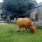 Highland Cow by IamJane--