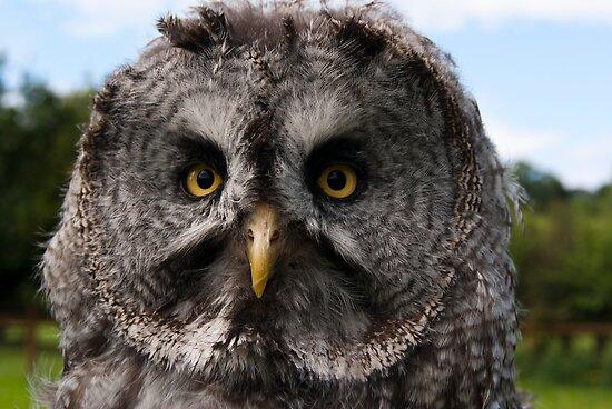 Great Grey Owl by fg-ottico