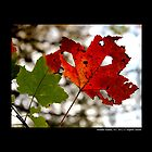 Green And Yellow Maple Leaves  by © Sophie W. Smith