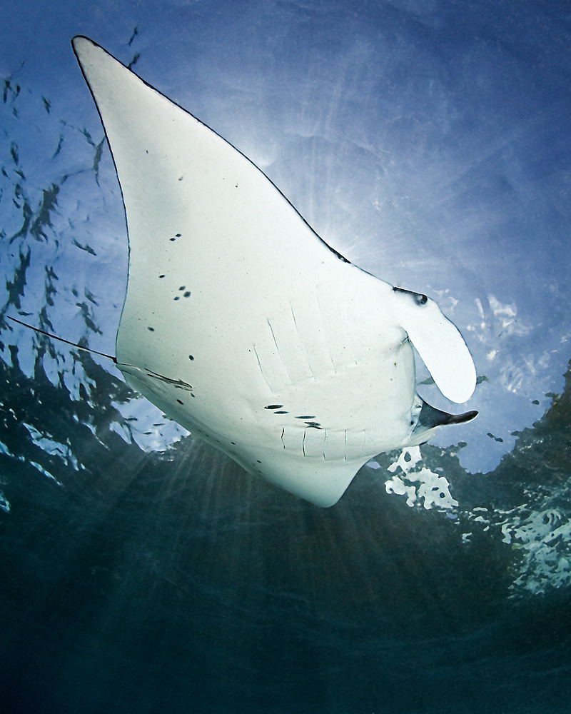 Manta 'n Rays by Henry Jager