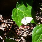 Cabbage Moth Two - 23 10 12 by Robert Phillips