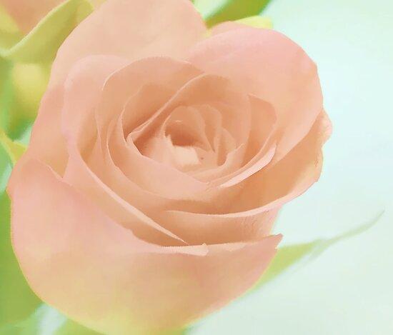 Soft Rose by lynn carter