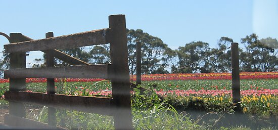 Country Tulips by Kim Ogden