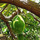 Avocado by globeboater