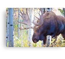 Sad Ending For A Stunning Bull Moose Canvas Print