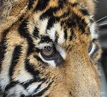 Tiger Cub by Vikki Gage