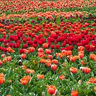 Sea of colourful tulips by Fran Woods