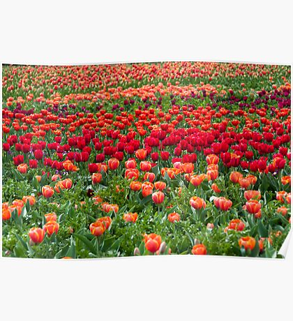 Sea of colourful tulips Poster