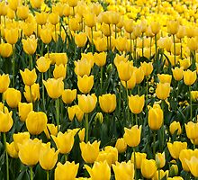 A mass of yellow tulips by Fran Woods