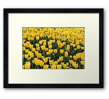 A mass of yellow tulips Framed Print