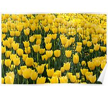 A mass of yellow tulips Poster