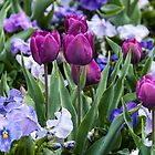 Purple tulips in a sea of pansies by Fran Woods