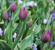 Tulip buds by Fran Woods