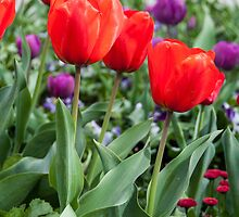 Red and purple tulips by Fran Woods