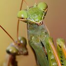 Praying mantids mating by jimmy hoffman