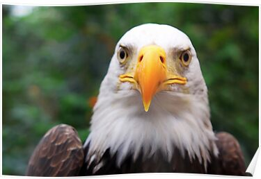 Eye to Eye with A Bald Eagle by Jo Nijenhuis