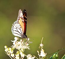 Monarch Butterfly  by Margaret Stanton