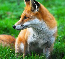fox 3 by Steve Shand